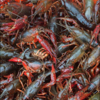 louisiana-live-crawfish-400x414_c